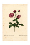 Animating China Rose, Rosa Chinensis Hybrid Giclee Print by Pierre-Joseph Redouté