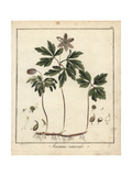 Wood Anemone, Anemone Nemorosa Giclee Print by F. Guimpel