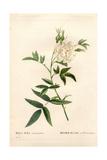 Hemp-Leaved White Rose, Rosa Alba Var Cannabifolia Giclee Print by Pierre-Joseph Redouté