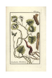 Turpeth, Operculina Turpethum Giclee Print