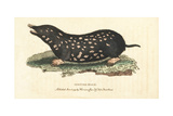 Spotted Mole, Talpa Europaea Giclee Print by George Edwards