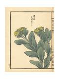 Benkeisou or Garden Stonecrop, Hylotelephium Erythrostictum Giclee Print by Bairei Kono
