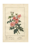 Thornless Pink Rose and Cinnamon Rose Giclee Print by Pancrace Bessa