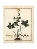 Globe Flower, Trollius Europaeus Giclee Print by F. Guimpel