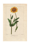 Blanket Flower, Gaillardia Aristata, Native to America Giclee Print by Pancrace Bessa