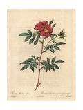 Shining Rose, Rosa Nitida Giclee Print by Pierre-Joseph Redoute