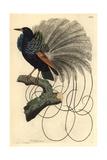 Le Nebuleux Bird of Paradise, Paradisea Nigricans Impression giclée par Richard Nodder
