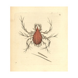 Long-Legged Cannibal Mite, Cheletomorpha Lepidopterorum Giclee Print by George Shaw