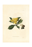 Boneseed or Tick Berry, Chrysanthemoides Monilifera Giclee Print by George Cooke
