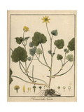 Lesser Celandine, Ranunculus Ficaria Giclee Print by F. Guimpel
