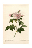 Maiden's Blush Rose, Rosier Blanc Royal Giclee Print by Pierre-Joseph Redouté