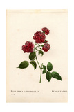 Carnation China Rose, Rosa Chinensis Variety Giclee Print by Pierre Joseph Redoute