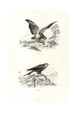 Buzzard and Red Kite Giclee Print by Edouard Travies