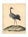 Common Crane, Grus Grus Giclee Print by William Hayes