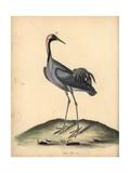 Common Crane, Grus Grus Giclee Print by William Hayes