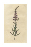 Purple Toad-Flax, Linaria Purpurea Giclee Print by James Sowerby
