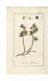European Blueberry, Vaccinium Myrtillus Giclee Print