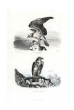 Osprey and Short-Toed Snake Eagle Giclee Print by Edouard Travies