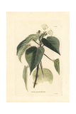 Croton Pennicillatum Giclee Print by George Cooke
