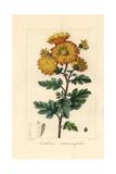 Chrysanthemum, Anthemis Artemisiaefolia, Native to China Giclee Print by Pancrace Bessa