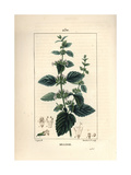 Common Balm, Melissa Hortensis Giclee Print by Pierre Turpin