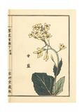 Kyabbetsu or Ganlan, Cabbage Flower, Brassica Oleracea Giclee Print by Bairei Kono