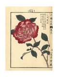 Choushunka or China Rose, Rosa Chinensis Giclee Print by Bairei Kono