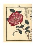 Choushunka or China Rose, Rosa Chinensis Giclee Print by Bairei Kono