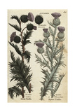 Musk Thistle, Carduus Nutans, and Spear Thistle, Cirsium Vulgare Giclee Print