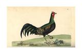 Green Junglefowl, Gallus Varius Giclee Print by Frederick Nodder