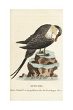 Parasitic Jaeger or Arctic Skua, Stercorarius Parasiticus Giclee Print by George Edwards