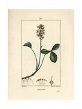 Mars Trefoil, Menyanthes Trifoliata Giclee Print by Pierre Turpin