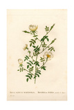 Myrtle-Leaved Hedge Rose, Rosa Agrestis Variety Giclee Print by Pierre-Joseph Redouté