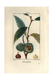 Sweet Chestnut Tree, Castanea Sylvestris, Showing Fruit and Nut Giclee Print by Pierre Turpin