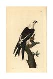 Swallow-Tailed Kite, Elanoides Forficatus Impression giclée par Frederick Nodder