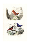 Guianan Cock-Of-The-Rock and Banded Cotinga Giclee Print by Edouard Travies