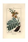 Brazilwood or Pernambuco, Caesalpinia Echinata Giclee Print by Pierre Turpin