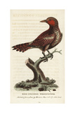 Waved Woodpecker, Celeus Undatus Giclee Print by George Edwards