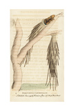Porcupine Caterpillar of the Bagworm Moth, Psychidae Species Giclee Print