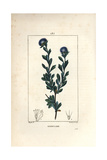 Three Tooth Leaved Globularia, Globularia Fruticosa Giclee Print by Pierre Turpin