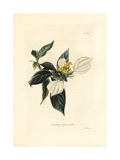 Buddha's Lamp Plant, Mussaenda Pubescens Giclee Print by George Cooke