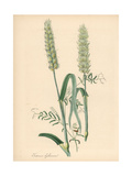 Common Wheat, Triticum Aestivum Giclee Print by M.A. Burnett