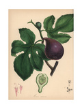 Fig, Ficus Carica Giclee Print by M.A. Burnett