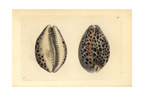 Tiger Cowry Shell, Cypraea Tigris Giclee Print by Frederick Nodder