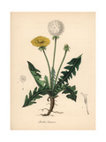 Common Dandelion, Taraxacum Officinale Giclée-tryk af M.A. Burnett