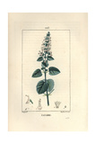 Catnip or Catmint, Nepeta Cataria Giclee Print by Pierre Turpin