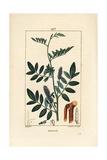 Licorice or Liquorice, Glycyrrhiza Glabra Giclee Print by Pierre Turpin