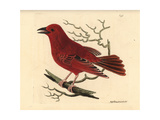 Summer Tanager, Piranga Rubra Giclee Print by Richard Nodder