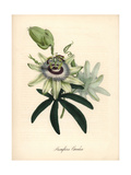 Blue Passionflower, Passiflora Caerulea Giclee Print by M.A. Burnett
