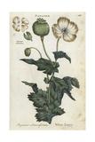 White Opium Poppy, Papaver Somniferum Giclée-Druck